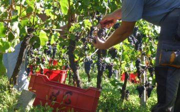 Cantine aperte in vendemmia in Trentino Alto Adige – Tutti gli appuntamenti della prima edizione